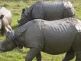 bardia-rhino